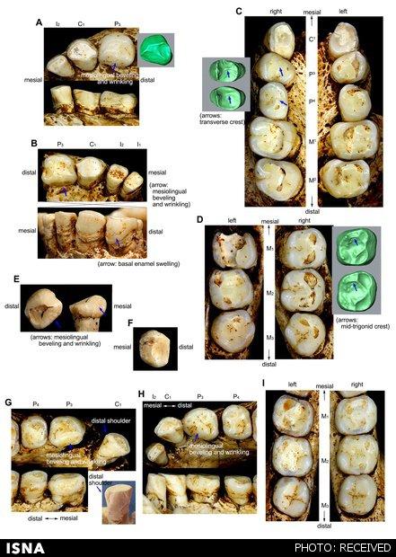Homo-floresiensis-teeth4